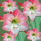 Pink Hippeastrum Lilies and buds. by Mary Taylor