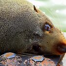 Fur Seal  by robmac