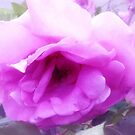 *Lovely Lilactime Rose from my Garden* by EdsMum