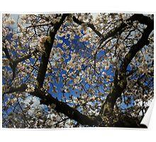 Cherry Blossom - Spring Time Poster