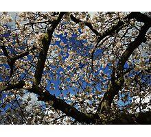 Cherry Blossom - Spring Time Photographic Print
