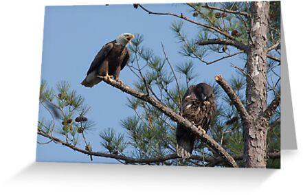 Flight Tutorial, Adult & Juvenile Bald Eagles, Jordan Lake, NC by Denise Worden