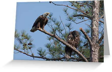 Flight Tutorial, Adult & Juvenile Bald Eagles, Jordan Lake, NC by Denise Worden