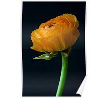 Yellow ranunculus flower head. Poster