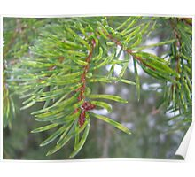 Spruce needles are really green Poster