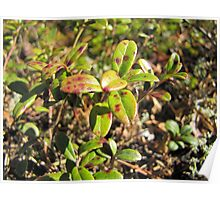 lingonberry leaves with red dots Poster
