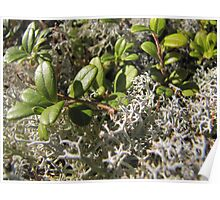 moss and lingonberry leaves in the green Poster