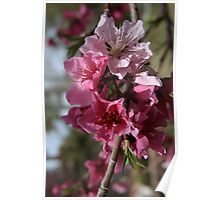Pink Spring Blossoms Poster
