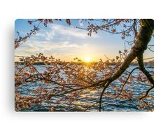 Sun Down for the Cherry Blossoms Canvas Print
