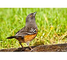 Spotted Towhee Looking Up Photographic Print