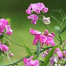 Sweet Pea by Tracy Wazny