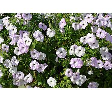 Beautiful pale purple flowers in the garden. Photographic Print