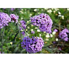 Purple spring flowers in the garden. Photographic Print