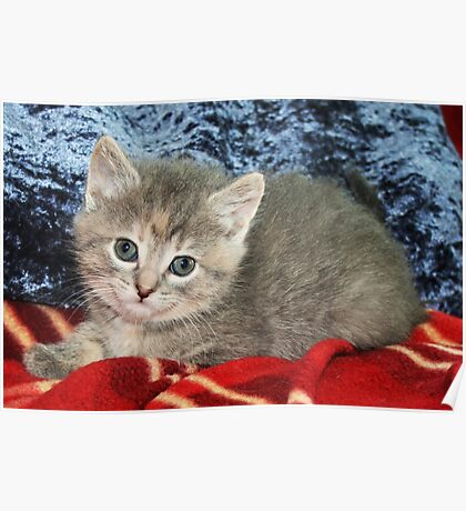 Gray Kitty on a Red Blanket Poster