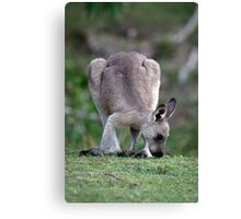 Grazing Kangaroo Canvas Print
