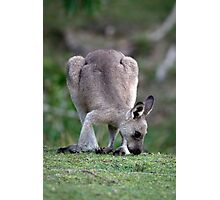 Grazing Kangaroo Photographic Print