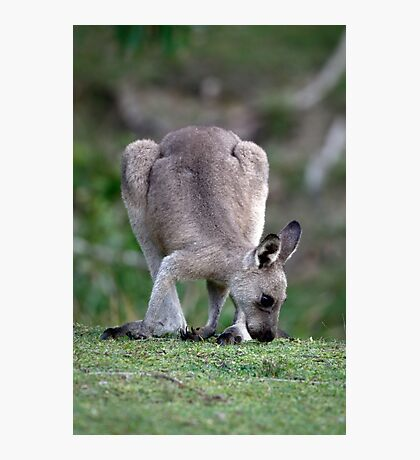 Grazing Kangaroo Photographic Print