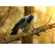 Crow on the branch Photographic Print