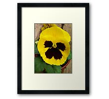 YELLOW TWO TONE PANSY Framed Print