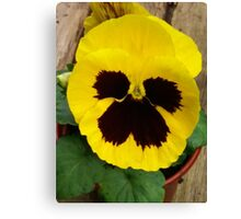 YELLOW TWO TONE PANSY Canvas Print