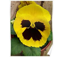 YELLOW TWO TONE PANSY Poster