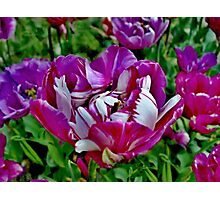 Lovely lilac tulip Photographic Print