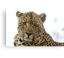 Can Leopards Wink? Metal Print