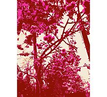 Weeping Cherry IV Photographic Print