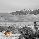 Great Colorado Sand Dunes Deer by Bo Insogna