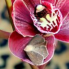 Oddly, Not A Moth Orchid by Michael May