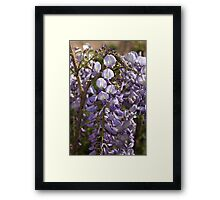 Wisteria Bloom Framed Print