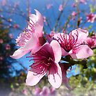 *Nectarine Blossom from Spring 2015* by EdsMum