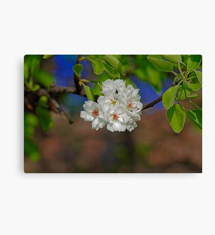 Blossom cherry in its own shadow Canvas Print