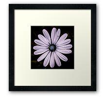 Daisy Mauve Framed Print