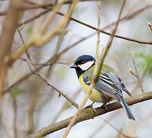 The Great Tit by Dominika Aniola