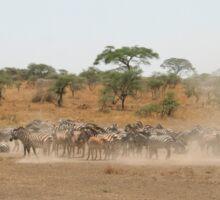 Zebras in the Serengeti National Park, Tanzania, Africa Sticker