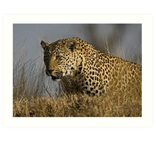 Female Leopard - Makwela Art Print