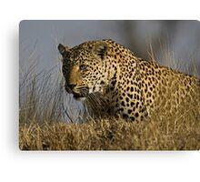 Female Leopard - Makwela Canvas Print