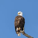 The Great American Bald Eagle 2016-13 by Thomas Young