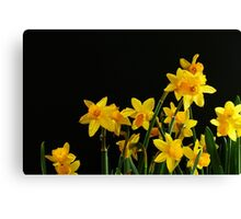 Yellow Daffodils on black background Canvas Print