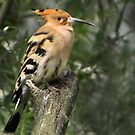 Hoopoe by Thea 65