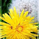 Dandelion - Transformation by Redrose10