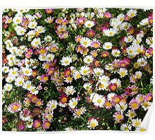 Candy Coloured Daisies Poster