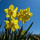 Blue Sky Daffodil by MarianBendeth