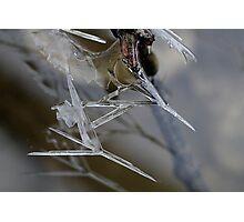 Mosquito  Photographic Print