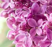 Blooming Lilac by Mariola Szeliga