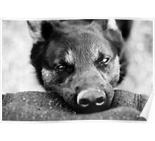 Working Dog. Poster