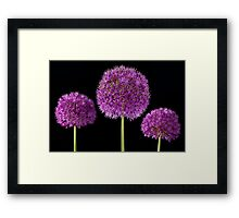 Allium Trio Framed Print