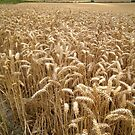 Vale of Pewsey Wheat (1) by Steve Marshall
