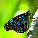 The  Butterfly Blue  by Virginia McGowan